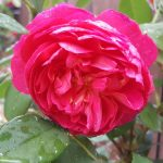 Rose 'Benjamin Britten' (Rosa species)