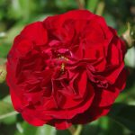 Rose 'Bordeaux' (Rosa species)