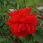 Rose 'Brillant' (Rosa species)