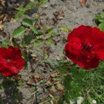 Rose 'Chorus' (Rosa species)