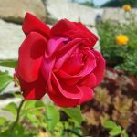 Rose 'Dame de Coeur' (Rosa species)