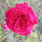 Rose 'Duftfestival' (Rosa species)