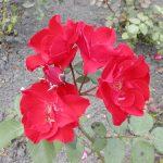 Rose 'Esperanza' (Rosa species)