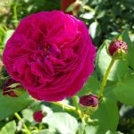 Rose 'Falstaff' (Rosa species)