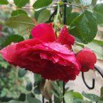 Rose 'Florentina' (Rosa species)