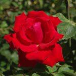 Rose 'Grande Amore' (Rosa species)