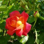 Rose 'Midsummer' (Rosa species)