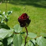 Rose 'Mildred Scheel' (Rosa species)