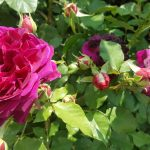 Rose 'Munstead Wood' (Rosa species)