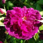 Rose 'Munstead Wood' (Rosa species)