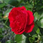 Rose 'Out of Rosenheim' (Rosa species)