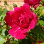 Rose 'Paul's Scarlet' (Rosa species)