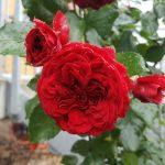 Rose 'Rotkäppchen' (Rosa species)