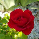 Rose 'Sympathie' (Rosa species)