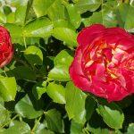 Rose 'Vulcanica' (Rosa species)