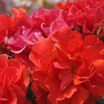 Rose 'Westpoint' (Rosa species)