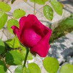 Rose 'William Shakespeare 2000' (Rosa species)