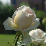 Rose 'Ambiente' (Rosa species)