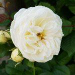 Rose 'Artemis' (Rosa species)