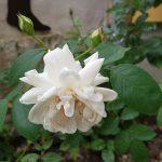 Rose 'Ilse Krohn' (Rosa species)