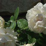 Rose 'Kosmos' (Rosa species)