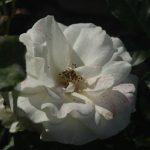 Rose 'Kristallperle' (Rosa species)