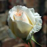 Rose 'Schneewalzer' (Rosa species)
