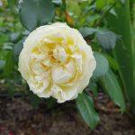 Rose 'Wedding Piano' (Rosa species)