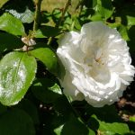 Rose 'Winchester Cathedral' (Rosa species)