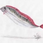 Bandfisch (Trachipterus arcticus)