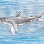 Bullenhai (Carcharhinus leucas)