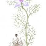 Damaszener Schwarzkümmel (Nigella damascena)