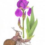 Deutsche Schwertlilie (Iris x germanica)