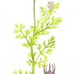Echter Schwarzkümmel (Nigella sativa)