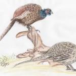 Fasan (Phasianus colchicus)