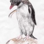 Felsenpinguin (Eudyptes chrysocome)