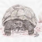 Galápagos-Riesenschildkröte (Chelonoidis nigra)