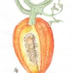 Gartenkürbis (Cucurbita pepo)