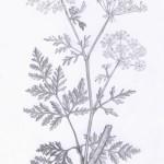 Gefleckter Schierling (Conium maculatum)