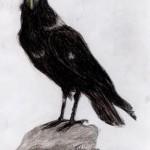 Geierrabe (Corvus albicollis)