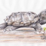 Geierschildkröte (Macrochelys temminckii)