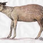 Gelbrückenducker (Cephalophus silvicultor)