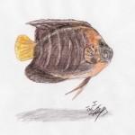 Gelbschwanz-Kaiserfisch (Pomacanthus chrysurus)
