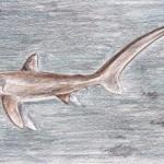 Gemeiner Fuchshai (Alopias vulpinus)