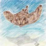 Glattrochen (Dipturus batis)