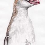 Goldschopfpinguin (Eudyptes chrysolophus)