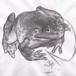 Goliathfrosch (Conraua goliath)