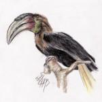 Großer Jahrvogel (Aceros undulatus undulatus)