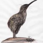 Haastkiwi (Apteryx haastii)