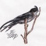 Haubenbaumsegler (Hemiprocne longipennis)